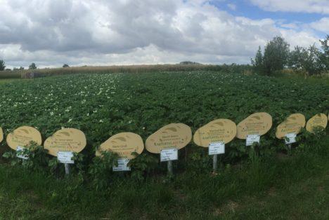 Kartoffelfeld Heichelheim